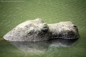 Hippos terug in de vijver Stormpolder